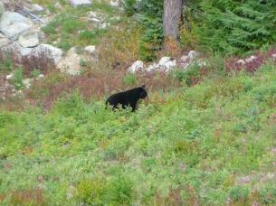 Black Bear Whistler Canada   The Rose Table