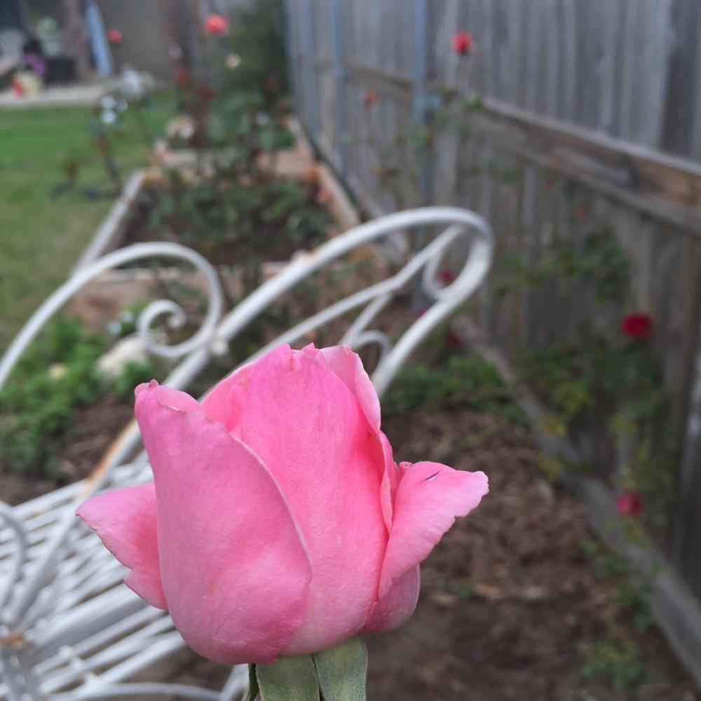 Queen Elizabeth Rose | The Rose Table