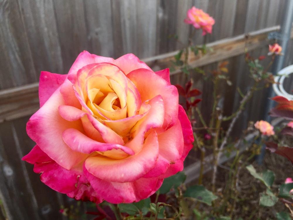 Dream Come True rose | The Rose Table