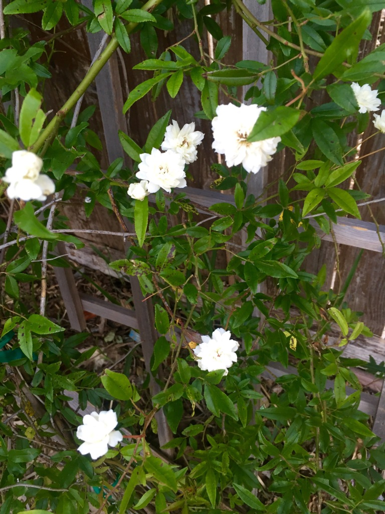 Lady Banks evergreen thornless rose | The Rose Table