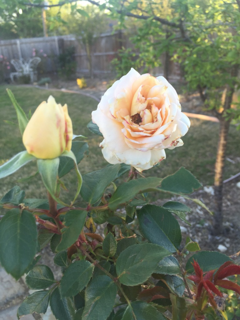Lion's Fairy Tale rose | The Rose Table