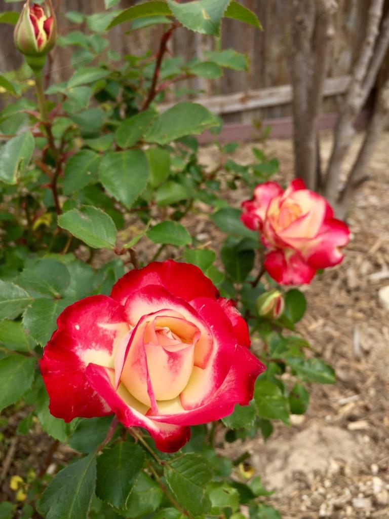 Cherry Parfait Rose | The Rose Table