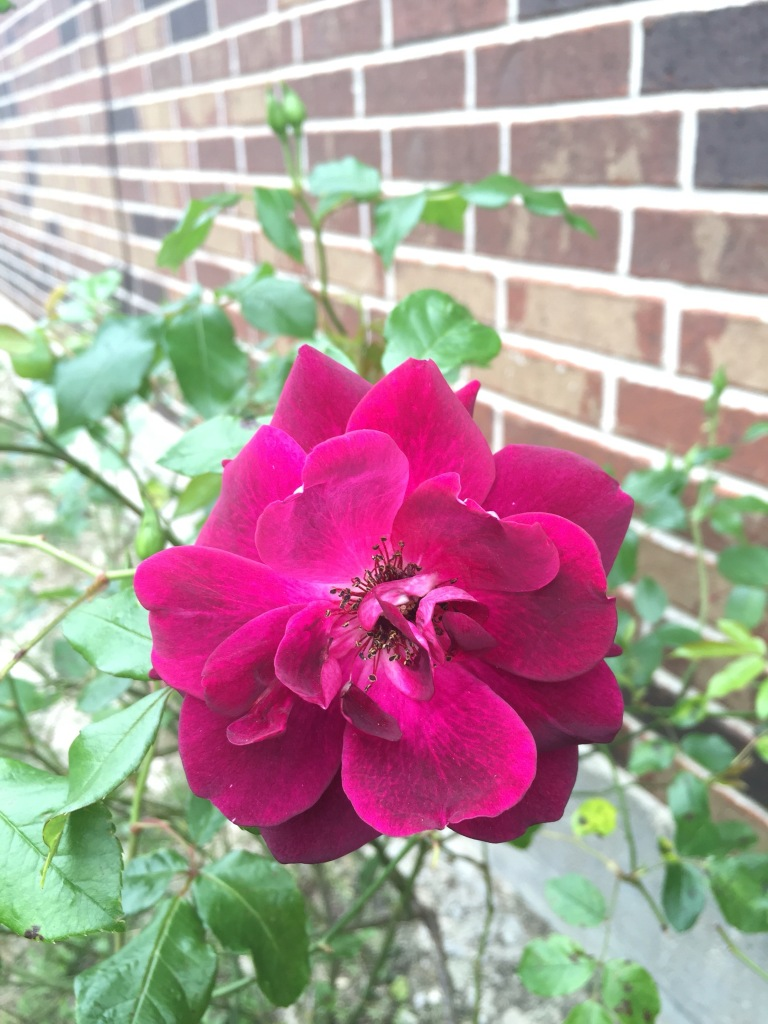 Burgundy Iceberg Rose | The Rose Table