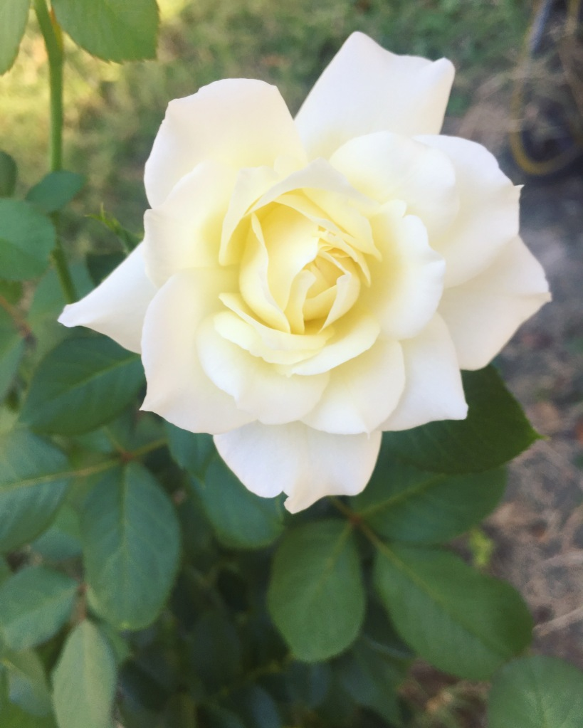 Moondance Rose | The Rose Table